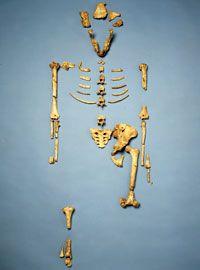 3D application The partial skeleton of Lucy, Australopithecus afarensis.