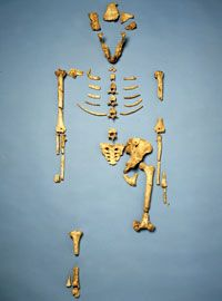 3D application The partial skeleton of Lucy, Australopithecus afarensis.
