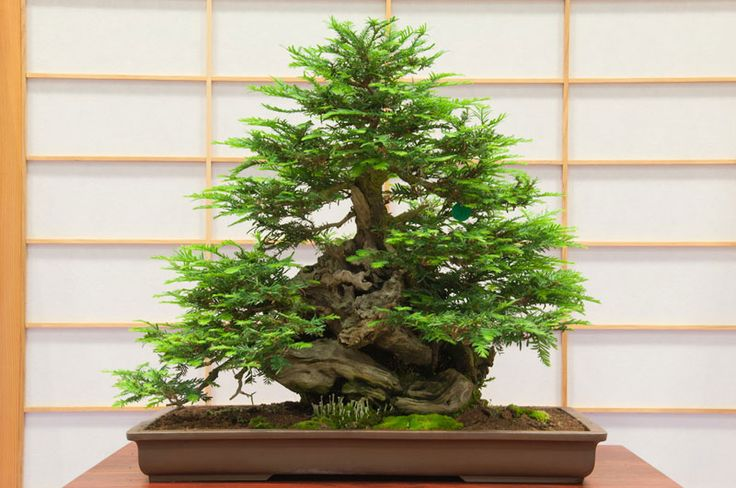 Coast Redwood (Sequoia sempervirens) – 31 years old  Photograph by The Redwood Empire Bonsai Society (REBS)