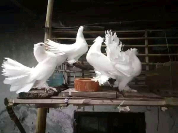 Pigeon Solutions