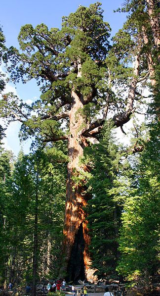 """Giant sequoias """"Grizzly Giant""""  Yosemite, are the world's largest trees."""
