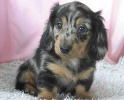 Long-Haired Miniature Dachshund Puppies For Sale - Splendor Farms Kennel - Bush, Louisiana