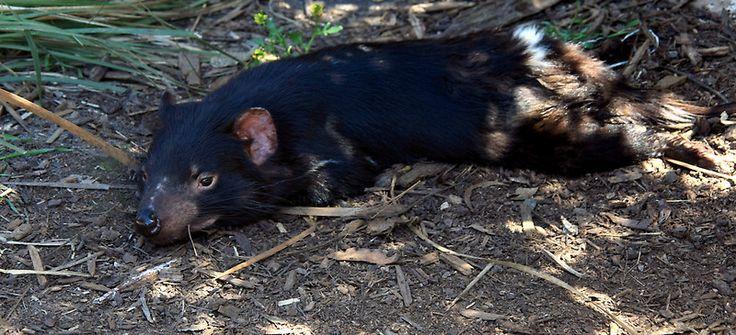 Tassie Devil @ Trowunna Wildlife Park, Mole Creek, Tasmania