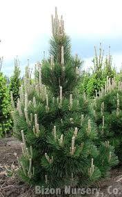 Znalezione obrazy dla zapytania Pinus thunbergii Thunderhead