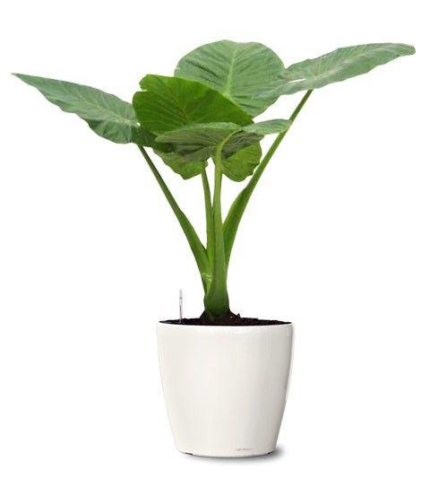 Small Ornamental Plant - Giant Elephant Ear Ornamental Plant - Alocasia Calidora