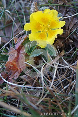 Yellow wildflower - Tormentil,  Potentilla tormentilla