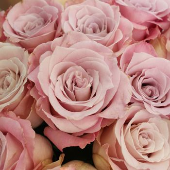 Faith - a lovely name for a lovely lavender/pink hued rose.