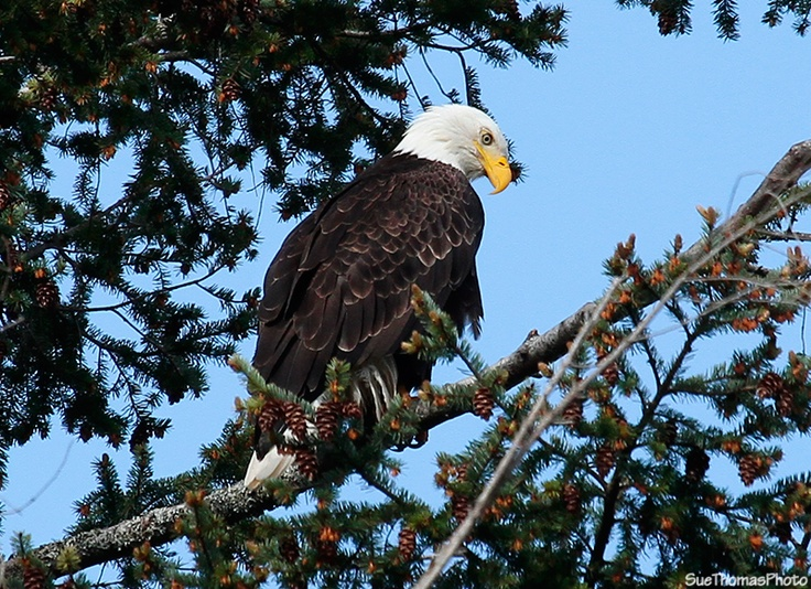 Bald eagle at Rathtrevor Provincial Park on Vancouver Island