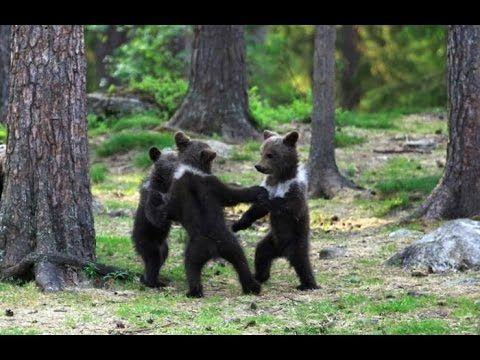#В мире животных Медвежата или история похожая на сказку 2016 # Документ...Эта история действительно похожа на сказку. В карпатских горах двое беспомощных медвежат близнецов  остались без материнской опеки, что неминуемо привело бы их к гибели - если бы их не нашел егерь и не взял к себе на воспитание. Удивительные преображения , первые шаги  похожие на детские и знакомство с окружающим миром. #Весьмиртерриториянепознанного