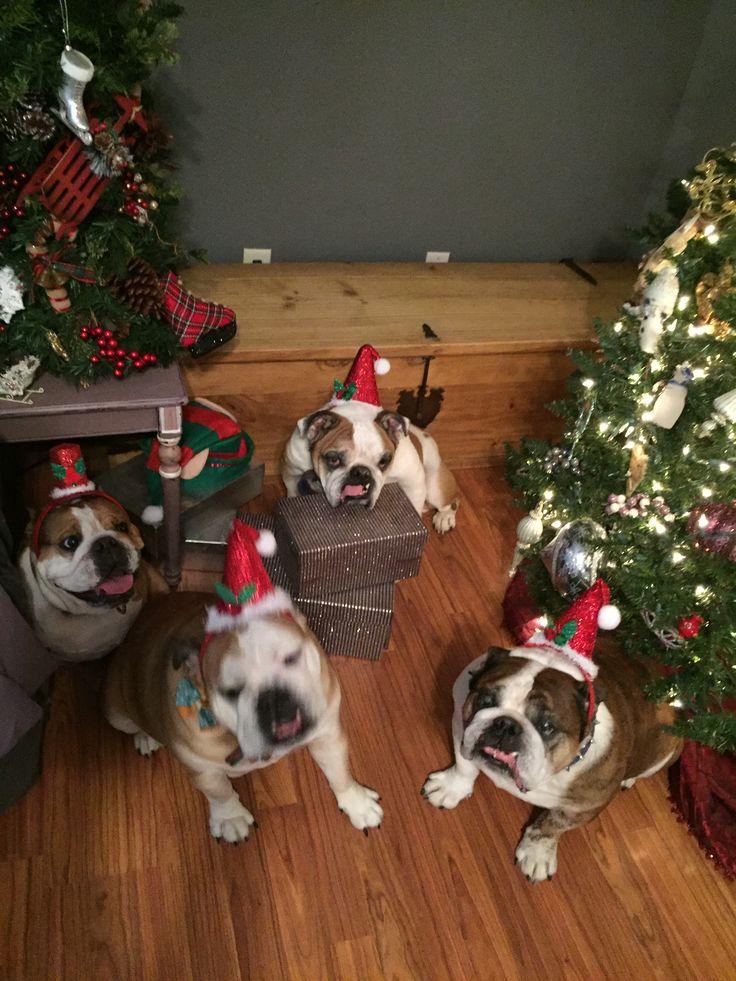 Mugsy 🎄 Pebbles 🎄 Trixie 🎄 Dozer Christmas 2017