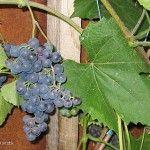 Vitis 'Summer Sweet', vinranka. Blåa druvor, rätt härdig. Kan odlas utomhus på varm plats.