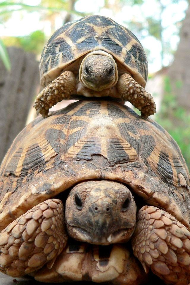 Best Tortoises Ideas On Pinterest Cute Tortoise Cute - Man walks pet tortoise through tokyo