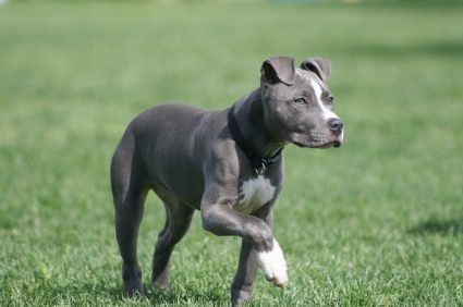 """WOW! Ive been using this new weight loss product sponsored by Pinterest! It worked for me and I didnt even change my diet! I lost like 26 pounds,Check out the image to see the website, """"blue"""" pit bull"""