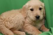 Golden retriever - Barcelona tienda mascotas Barcelona venta perros gatos