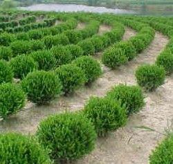 Wintergreen Boxwood - Surrounding Patio