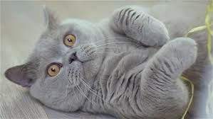 Resultado de imagen para scottish fold kitten orange