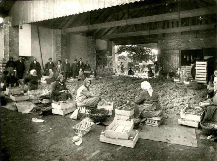 A nagykőrösi gyümölcsfeldolgozó üzem. Parasztasszonyok jártak napszámban gyümölcsöt válogatni és csomagolni. A kép 1930-as években készült.