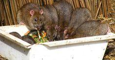 Las ratas y los ratones no son visitantes bienvenidos. Los roedores dañan los elementos de la casa, comen tu comida y dejan atrás la orina y los excrementos que podrían hacer que ...
