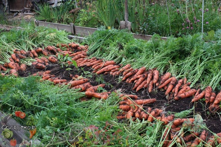 Когда копать морковь и как понять, что она созрела, температура, время сбора урожая, морковь с грядки на хранение, в Сибири, на Урале, Подмосковье, Черноземье, по лунному календарю