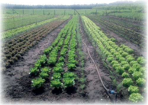 Szabadföldi zöldségtermesztés