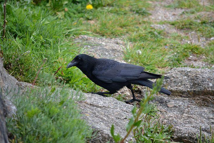 #animalier #corbeau #corneille #faune #faune sauvage #la nature #noir #oiseau #ornithologie