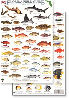 23 best florida fishes images on pinterest florida fish fishing florida reef fish field guide rainforest publications rfp009 695 category sciox Images