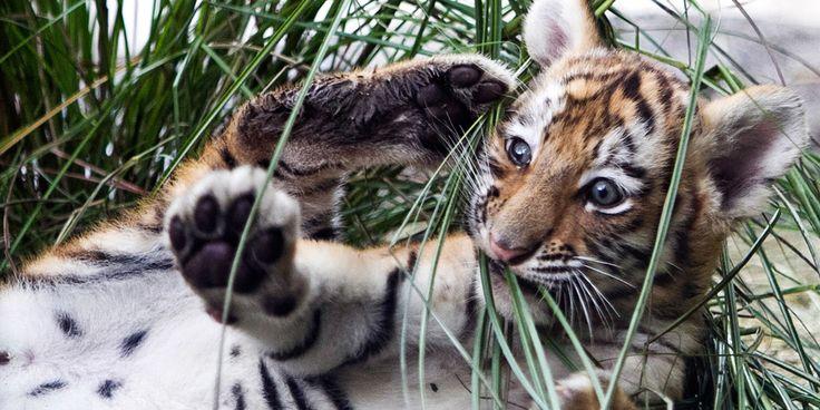 Filhote de tigre-siberiano-Filhote de tigre-siberiano Este filhote de tigre-siberiano é uma fêmea e nasceu no zoológico de Henry Doorly, em Omaha, no estado de Nebraska. Os tigres são naturais da Ásia, e ocupam uma faixa que vai da Índia até a Rússia. Em 2006, havia menos de 5 mil tigres em seu habitat natural, de acordo com o Fundo Mundial para a Vida Selvagem e Natureza. Destruição do habitat e caça são dois grandes obstáculos que os tigres enfrentam hoje em dia. Foto: AP/Nati Harnik