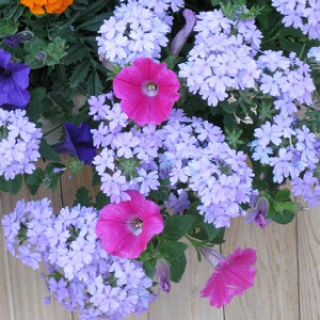 17 best ideas about plants for hanging baskets on pinterest hanging flower baskets flower - Container gardens for sun ...