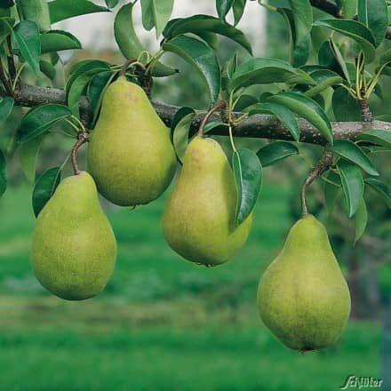 Birnenbäume - garten-schlueter-de