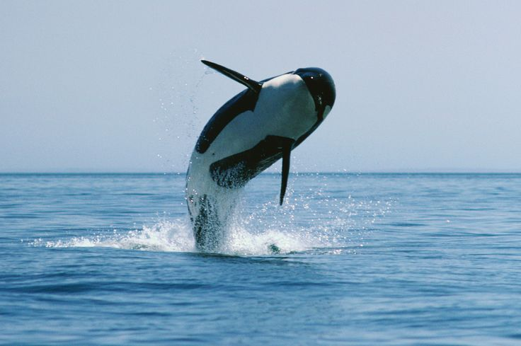 Killer Whales Pose Newest Threat to Kinder Morgan Oil Pipeline