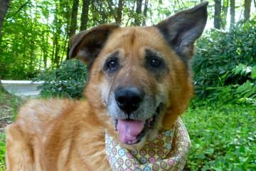 Adopt Scarlet, a lovely 10 years  1 month Dog available for adoption at Petango.com.  Scarlet is a German Shepherd / Mix and is available at the The Humane Society for Seattle/King County in Bellevue, WA