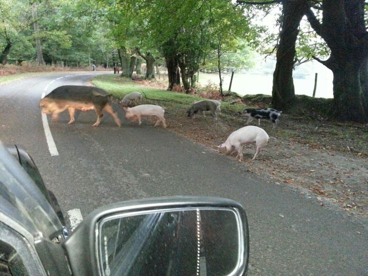 Another pig road block