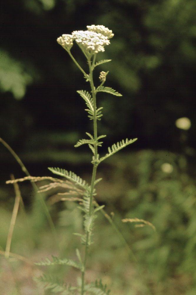Řebříček obecný (Achillea millefolium)