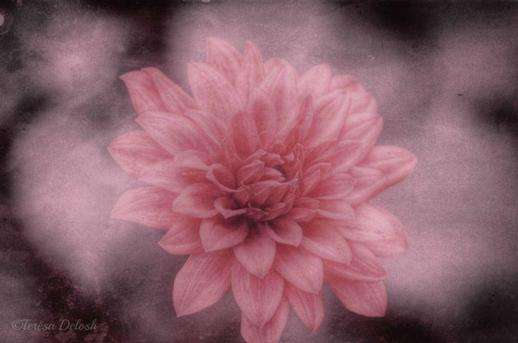 #Pink #Dahlia 7 #Photograph #snapseed #distressedfx