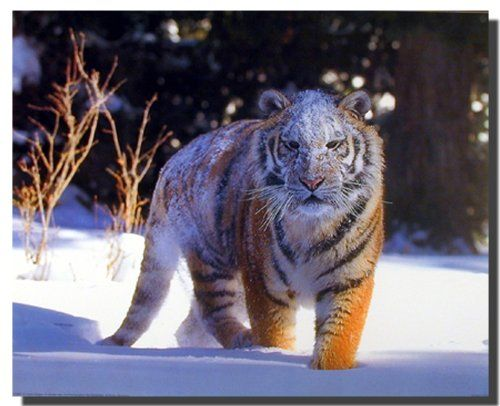 This wonderful Siberian Tiger art print poster will surely grab lot of attention. This poster depicts the image of Siberian Tiger walking on a snow field during winter that will surely take you into that world. So Hurry up and buy this charming wall poster for its wonderful paper quality with perfect color accuracy.