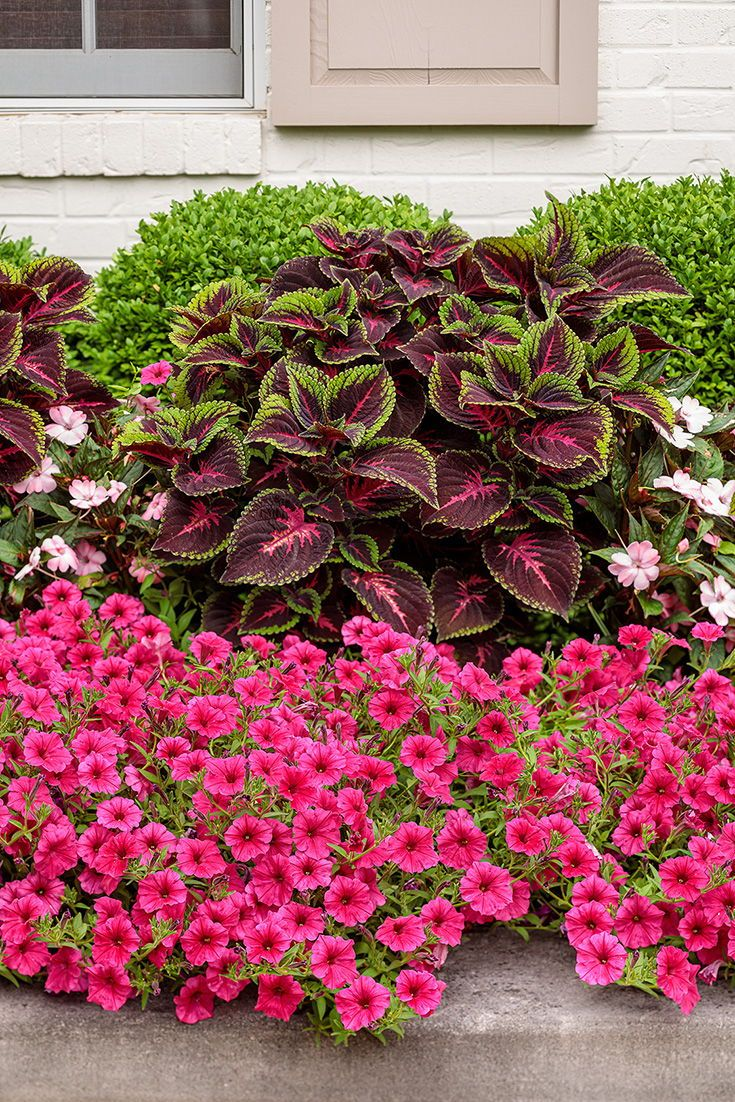 Long Blooming Watermelon Pink Petunia In 2020 Front Flower Beds Petunia Flower Garden Flower Beds