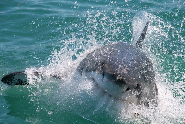 Visiting the Great White Sharks, Gans Bay, South Africa