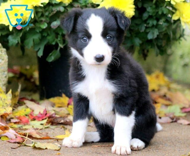 Lola Border Collie Puppy For Sale Keystone Puppies Collie Puppies For Sale Collie Puppies Puppies For Sale