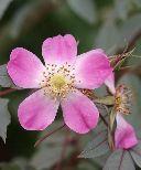 Rosa glauca - Salgshøjde: 50-80 cm. (Barrodet bundt m/25 stk) - Kobberrose  Kobberrose- 250 cm høj, den har et flot blådugget løv som i efteråret antager en rødbrun høstfarve. Blomsten er lille, enkel og kirsebærrød i udspring, men falmer til lysrosa. Dens hyben er næsten kugleformede og rent røde. Den blomstre hele juni måned.    -