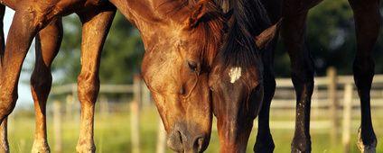 Wat te doen bij angst en stress Paarden zijn vluchtdieren en angst is voor hen een levensreddende emotie. Door angst of stress ontstaan er in het lichaam diverse reacties die ervoor zorgen dat het dier kan vechten of vluchten. Zo worden de spijsvertering en andere lichaamsfuncties, die niet van acuut belang zijn, even op 'pauze' gezet en systemen die nodig zijn om een flinke sprint te trekken 'aangezet'.