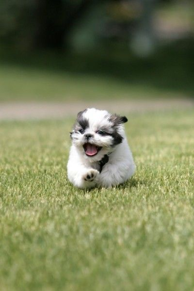 Shih tzus are my favorite l!!:) the name shih tzu in Chinese means little lion and that perfectly describes their personalities.
