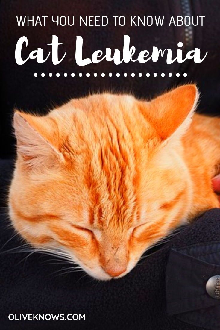 What You Need To Know About Cat Leukemia Cat Care Cats Cat Safety