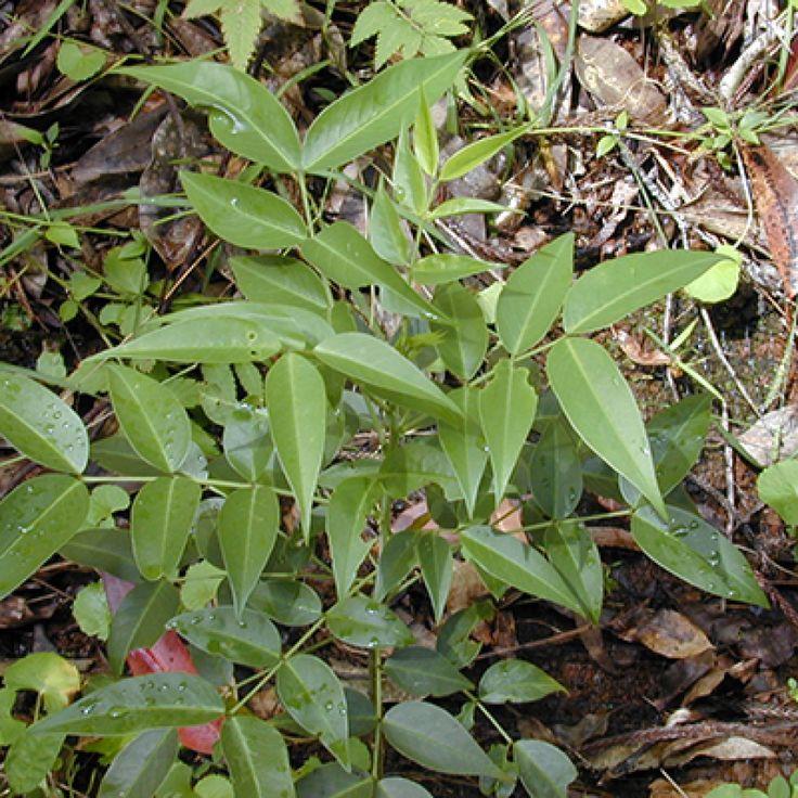 Arsenic bush | Senna septemtrionalis - NEMBA Category 1b