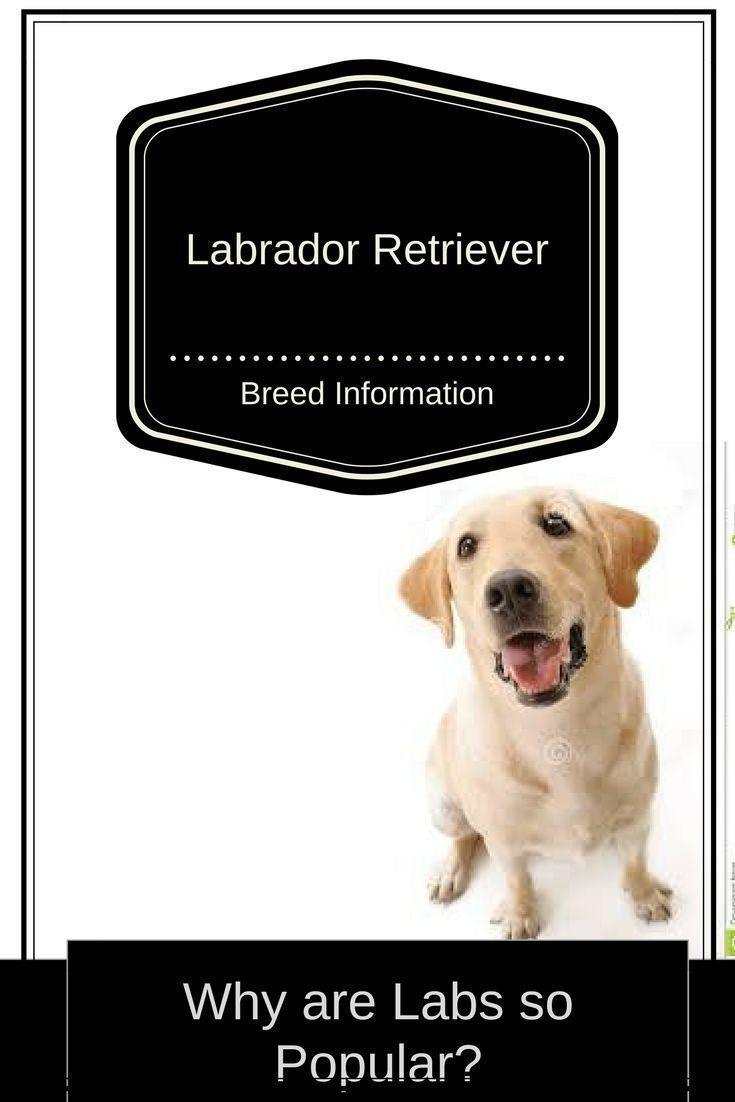 Alles Uber Labradorretrievers Lab Labradors Retriever