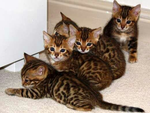 1010 Best Images About Bengal Cats On Pinterest