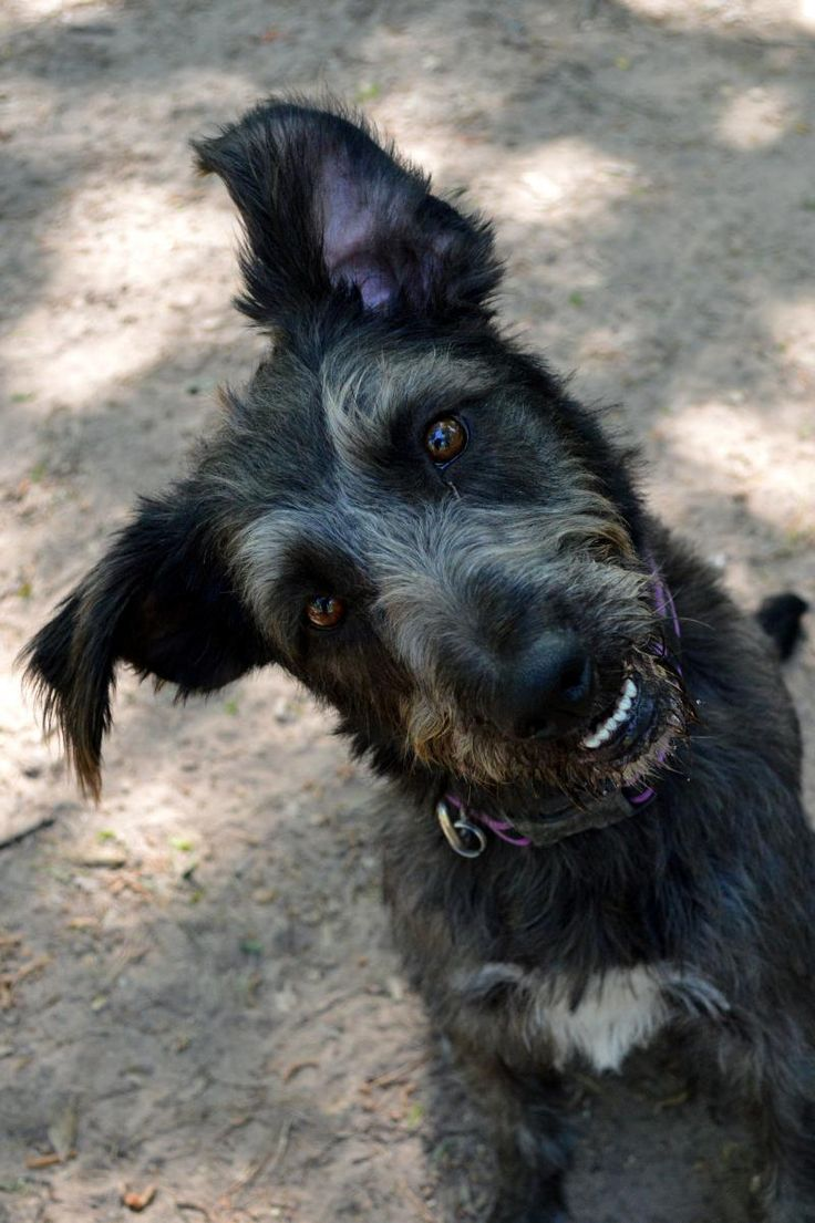 Gypsy Irish Wolfhound & Terrier Mix • Young • Female • Medium Abandoned Animal Rescue Tomball, TX