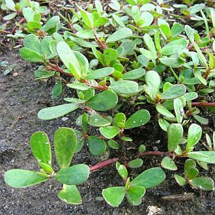 Portulaca oleracea - šrucha zelná (PROVOBIS)
