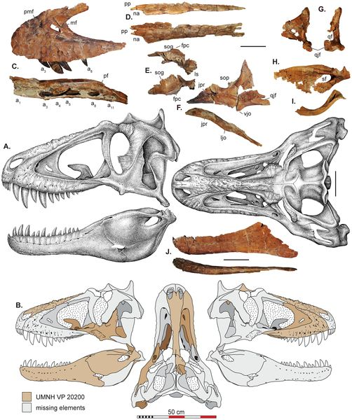 Figure 2 Skull reconstructions and selected cranial elements of Lythronax argestes.