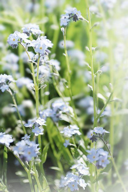 Vergissmeinnicht, Wiesenblumen, Wildblumen, Frühlingsblumen, Naturfoto