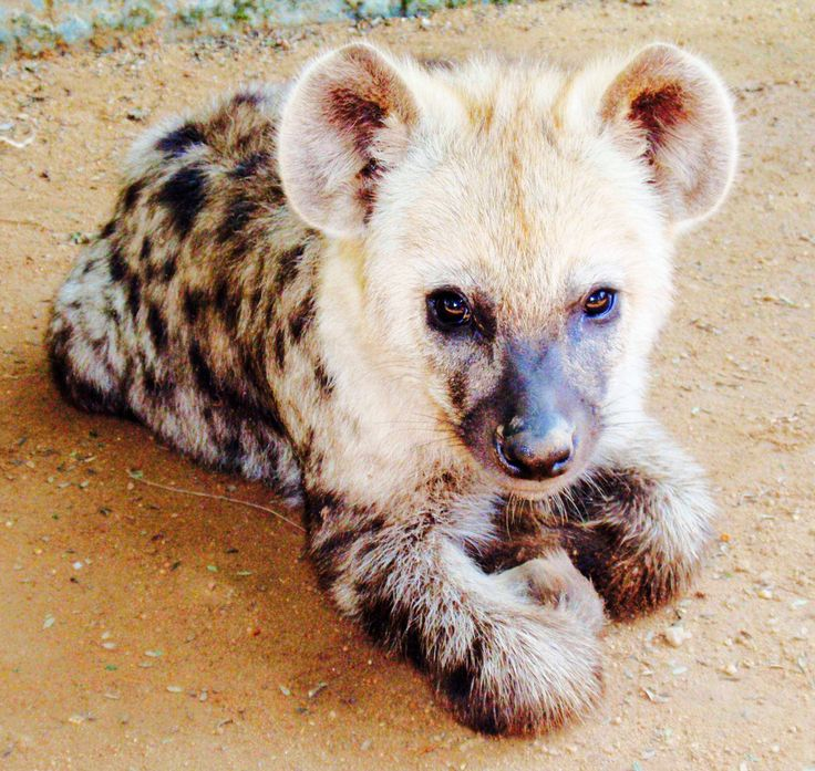 Hyena Offspring 56 best images about S...